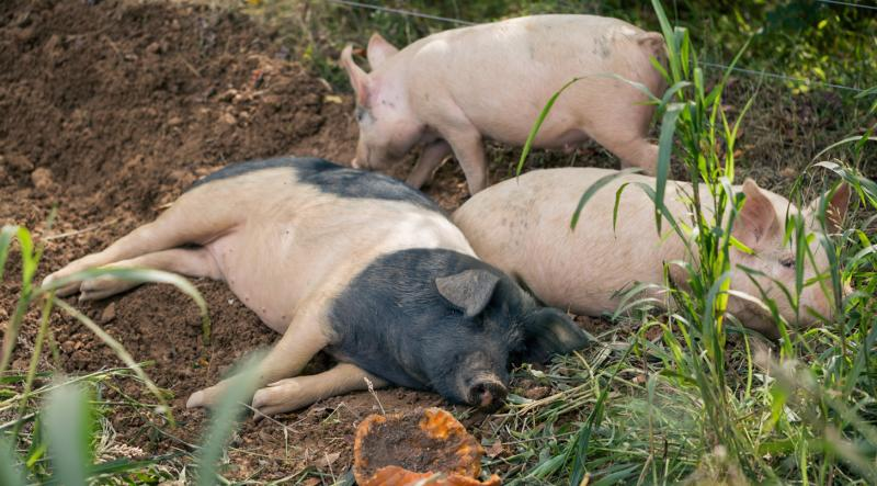 Heritage-breed pigs snoozing away the afternoon at Green Button Farm, Durham, NC